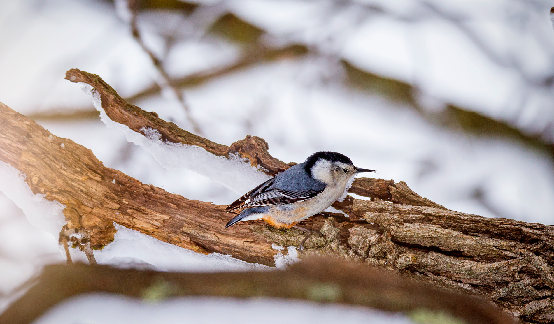 White Breasted Nuthatch resting on a branch