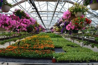 Hanging  baskets and plants in the greenhouse at Honeymoon Acres